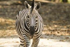 czarny rysunkowa ilustracyjna safari wektoru zebra Obraz Stock