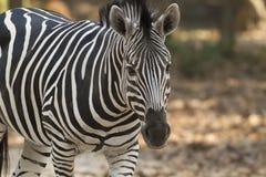 czarny rysunkowa ilustracyjna safari wektoru zebra Zdjęcie Royalty Free