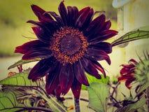 Czarny słonecznik w ogródzie obraz royalty free