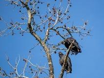 Czarny sęp w drzewie Zdjęcie Stock