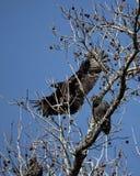 Czarny sęp w drzewie Obraz Royalty Free