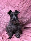 czarny scottest terier Fotografia Royalty Free