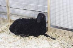 Czarny sheap Obrazy Stock