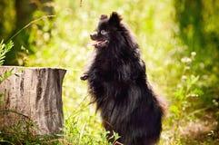 Czarny shpitz w parku zdjęcie stock