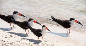 czarny skimmers Fotografia Stock