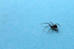 Czarny skoczny mały pająk na błękitnym tle zdjęcia stock