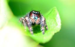 Czarny skokowy pająk chuje w liściu Obrazy Stock