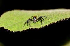 Czarny skokowy pająk z pomarańczowym podbrzuszem Fotografia Stock