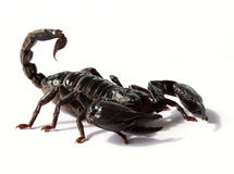 czarny skorpion  Obrazy Royalty Free