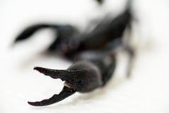 Czarny skorpion Fotografia Royalty Free