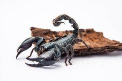 Czarny skorpion odizolowywający na białym tle fotografia stock