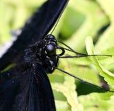 Czarny Spicebush Swallowtail motyl Zdjęcia Royalty Free