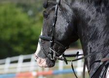 Czarny sporta koń Koński usta Equestrian sport w szczegółach Obraz Royalty Free