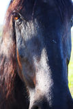 czarny stallion1 Obrazy Royalty Free