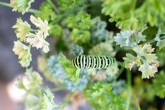 Czarny Swallowtail Caterpillar na pietruszce zdjęcie stock