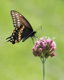Czarny Swallowtail III obraz stock