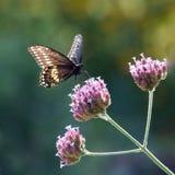 Czarny Swallowtail IV zdjęcia royalty free