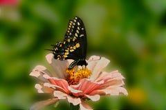 Czarny Swallowtail karmi uważnie na różowych cyniach kwitnie Obrazy Stock