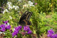 Czarny Swallowtail motyl na purpurach kwitnie w outdorr ogródzie obrazy stock