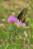 Czarny Swallowtail motyl - Papilio polyxenes zdjęcie stock