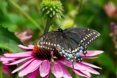 Czarny Swallowtail motyl - Papilio polyxenes obrazy stock