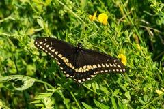 Czarny Swallowtail motyl - Papilio polyxenes zdjęcia stock