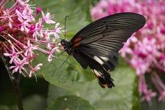 Czarny swallowtail motyl ssa nektar od kwiatów fotografia stock