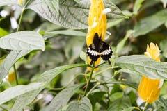 Czarny Swallowtail motyli jon żółty kwiat z zielenią opuszcza w cieplarni obraz royalty free