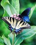 Czarny swallowtail na kolombinie Zdjęcie Royalty Free
