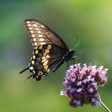 Czarny Swallowtail VI zdjęcia royalty free