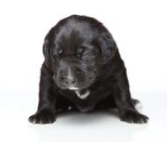 czarny szczeniak Fotografia Royalty Free