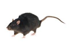 czarny szczur. Obrazy Royalty Free