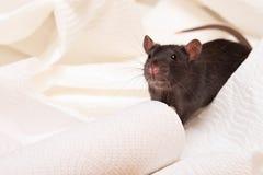 czarny szczur Obraz Stock