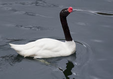 czarny szyi łabędzi biel Zdjęcie Royalty Free