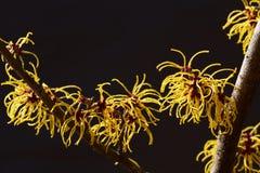 Czarny tło i kolor żółty kwitniemy czarownicy leszczyny kwitnienie w wczesnej wiośnie zdjęcie royalty free