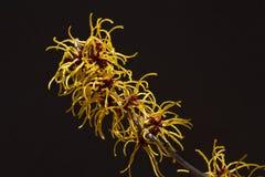 Czarny tło i kolor żółty kwitniemy czarownicy leszczyny kwitnienie w wczesnej wiośnie fotografia royalty free