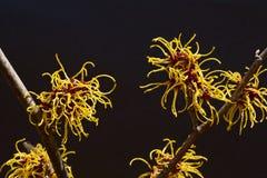 Czarny tło i kolor żółty kwitniemy czarownicy leszczyny kwitnienie w wczesnej wiośnie obrazy stock