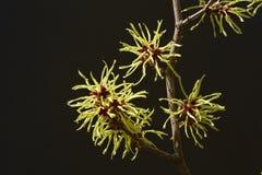 Czarny tło i kolor żółty kwitniemy czarownicy leszczyny kwitnienie w wczesnej wiośnie zdjęcie stock
