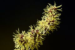 Czarny tło i kolor żółty kwitniemy czarownicy leszczyny kwitnienie w wczesnej wiośnie fotografia stock