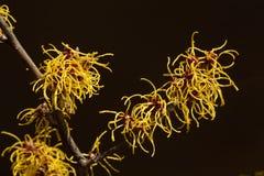 Czarny tło i kolor żółty kwitniemy czarownicy leszczyny kwitnienie w wczesnej wiośnie obraz royalty free