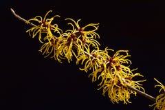 Czarny tło i kolor żółty kwitniemy czarownicy leszczyny kwitnienie w wczesnej wiośnie obrazy royalty free