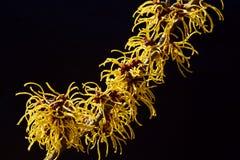 Czarny tło i kolor żółty kwitniemy czarownicy leszczyny kwitnienie w wczesnej wiośnie obraz stock
