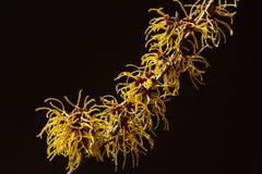 Czarny tło i kolor żółty kwitniemy czarownicy leszczyny kwitnienie w wczesnej wiośnie zdjęcia stock