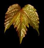 czarny tła liść z winogron Obraz Royalty Free