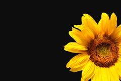 czarny tło słonecznik Zdjęcia Royalty Free