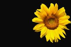 czarny tło słonecznik Obrazy Royalty Free