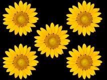 czarny tło słoneczniki obrazy royalty free