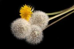 czarny tło dandelions odizolowywali Fotografia Royalty Free