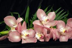 czarny tło orchidea Obraz Royalty Free