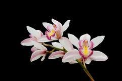 czarny tło orchidea Fotografia Stock